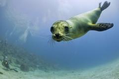 Nuotare con i leoni marini in Baja California