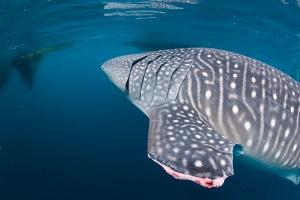 La pinna mozzata degli squali balena