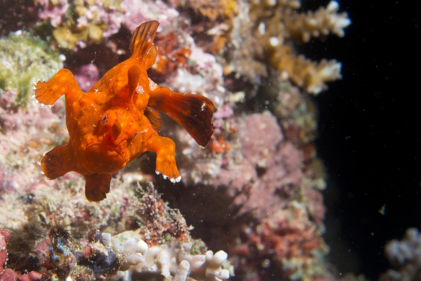 100 Metri Rana - Un piccolissimo pesce rana rosso balza da una roccia ricordando lo scatto di un corridore.