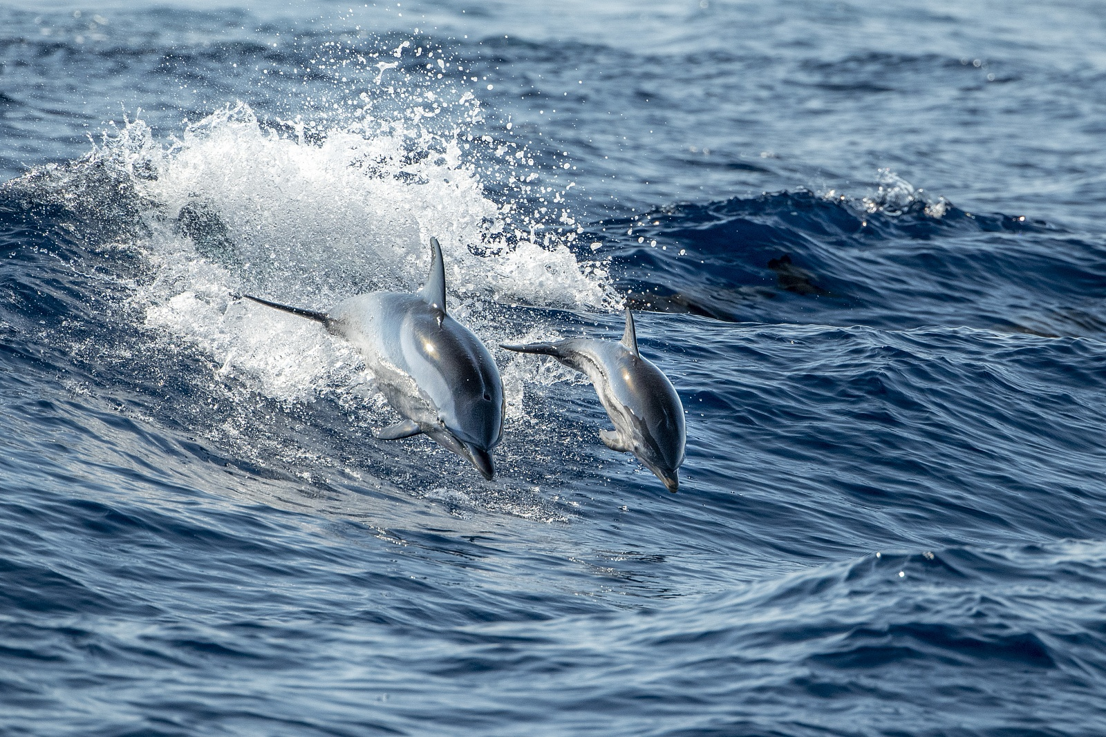 Born wild - Striped dolphin mother and baby