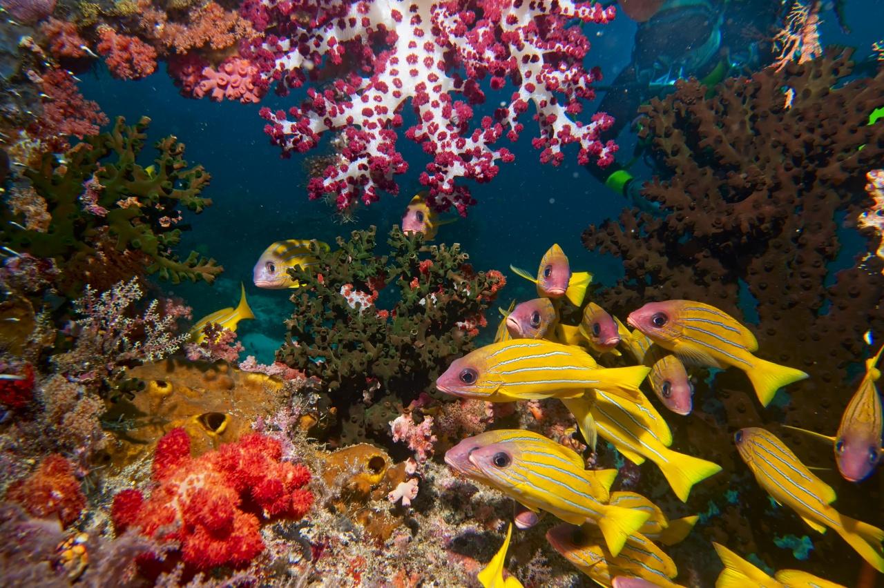 Una finestra sull'acquario - Nascosta fra alcionari e coralli duri una subacquea d'eccezione - Little Red Fish - osserva l'immenso coloratissimo acquario del mare indonesiano (Raja Ampat - Papua)