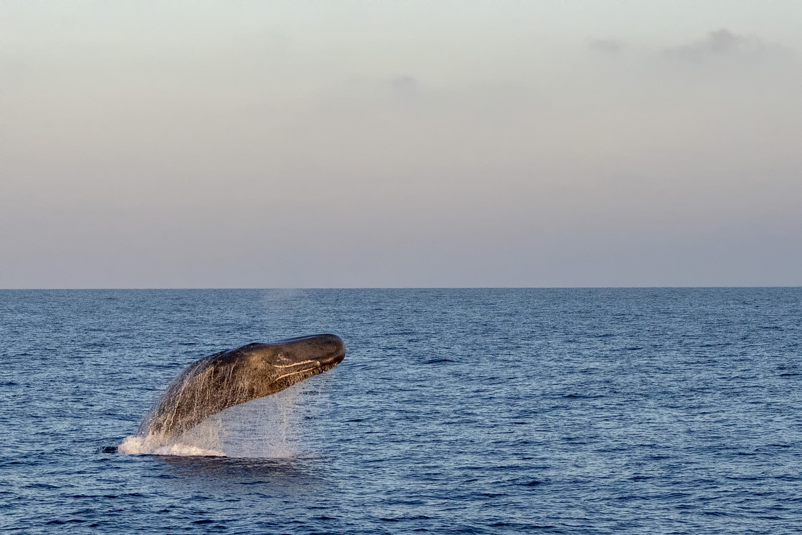 Breaching sperm whale - August 2020, Genoa, Italy