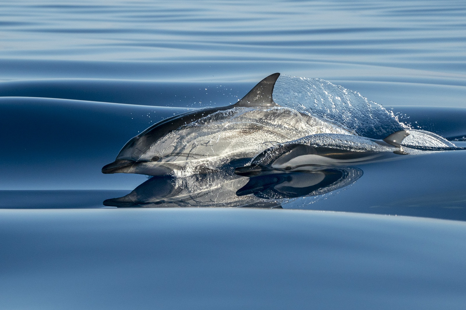 Surfing in a velvet sea - Striped dolphins