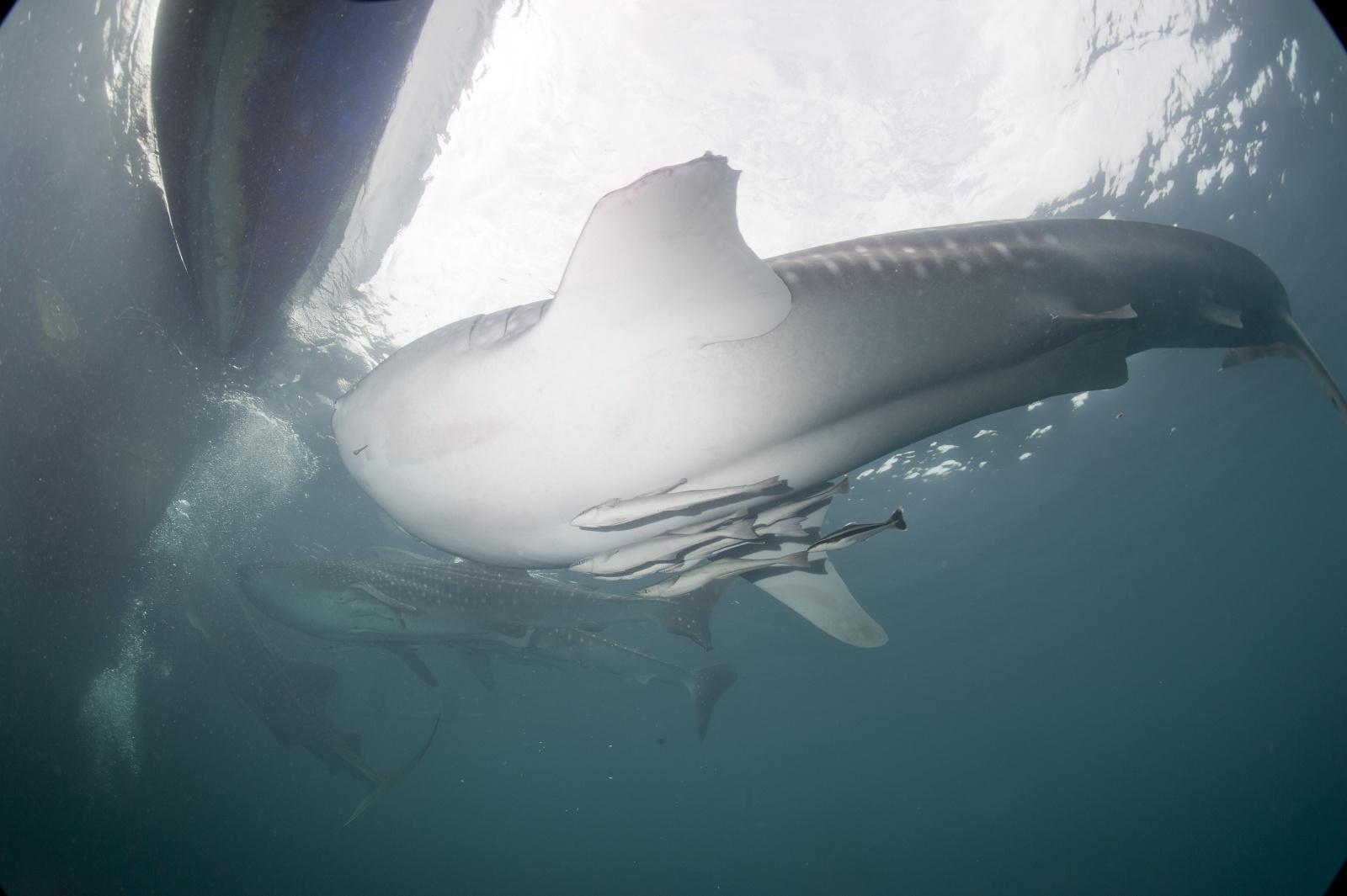 La pinna mozzata degli squali balena - È possibile notare nella parte bianca un pezzo di metallo conficcato nello squalo.